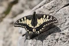 Papilio machaon - Swallowtail - Koninginnenpage (Oberjoch, Germany) (Christian van de Ven) Tags: vlinder butterfly schmetterling mariposa papillon papilio machaon