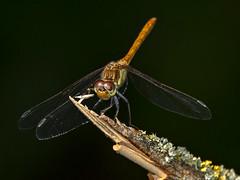 Steenrode heidelibel-Vagrant darter (sympetrum vulgatum) (Bram Reinders(on-off)) Tags: gemeineheidelibelle sympétrumvulgaire steenrodeheidelibel vagrantdarter sympetrumvulgatum libel dragonfly insect insekt macro micro voolhok voolhokdelfzijl natuur nature wildlife curiosityisthesourceofallknowledge nieuwsgierigheidisdebronvanallekennis groningen holland nederland thenetherlands sony sonyrx10m4 sonydscrx10markiv©bramreindersdelfzijl bramreinders bram reinders delfzijl wwwbramreindersnl