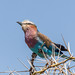 Lilac-breasted Roller
