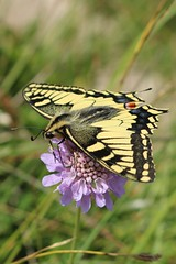 Papilio machaon - Swallowtail - Koninginnenpage (Oberjoch, Germany) (Christian van de Ven) Tags: vlinder butterfly schmetterling mariposa papillon papilio papiliomachaon