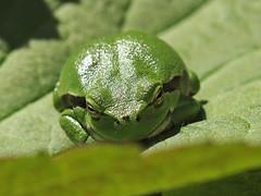 Müde? - Tired? (neusiedler) Tags: laubfrosch treefrog