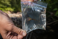 Rocky Mountain Tailed Frog (Ascaphus montanus) (GlacierNPS) Tags: national parkservice amphibian animal animals creek doi frog frogs glacier interior montana nps park stream water wildlife