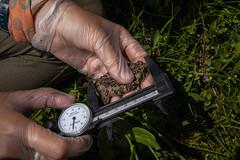 A researcher measures a western toad. (GlacierNPS) Tags: national parkservice alpine amphibian amphibians doi frog frogs glacier interior montana nps park research science toad