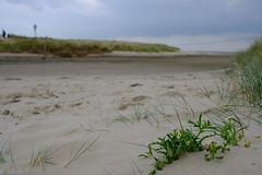 Sandwuchs (widarr) Tags: langeoog nordsee strand beach meersenf cakilemaritima pflanze plant meer sea küste shore