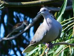 Ring necked Dove (starmist1) Tags: bird dove ringneckeddove collareddove willow tree branch limb perch twig summer august veryhot partlycloudy