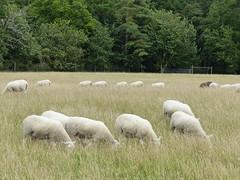 Heads down. Wytham Woods Oxford UK. (James Holme) Tags: wythamwoods wytham oxforduniversity lumixdmcfz200 fz200 uk unitedkingdom sheep westoxford oxford