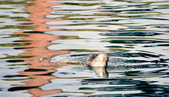 Preening Coot (pbdimages) Tags: bird animal coot waves water nature afternoon waterfowl ripples