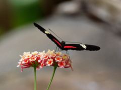 Butterfly (martin_swatton) Tags: uk england animals zoo wildlife olympus hampshire pro 300 marwell f4 omd mkii em1 mzuiko butterfly