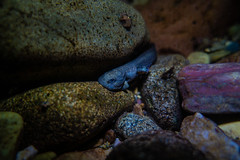Rocky Mountain Tailed Frog (Ascaphus montanus) (GlacierNPS) Tags: national parkservice amphibian animal animals apgarcreek doi frog glacier interior montana nps park stream tailed underwater water wildlife