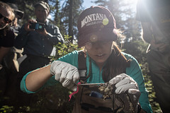 A researcher injects a microchip in a western toad. (GlacierNPS) Tags: national parkservice amphibian amphibians doi frog frogs glacier interior montana nps park science toad twomedicine
