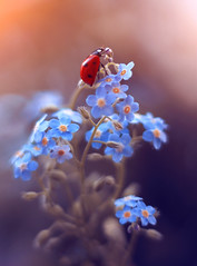 Forget me not 🐞 (ElenAndreeva) Tags: light summer sun soft canon amazing cute andreeva sweet natural dream bokeh 2019 blue blossom flower flowers floral forget me beauty best nature macro ladybug insect bug colors colorful composition garden