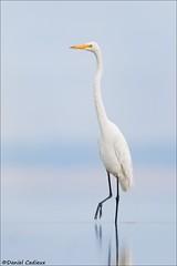 Great Egret Vertical (Daniel Cadieux) Tags: egret greategret walk walking heron ottawariver ottawa vertical whitebird