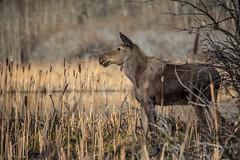A young moose (Alces americanus) (GlacierNPS) Tags: national parkservice animal calf canada canadian doi glacier interior mammal montana moose nps park waterton wildlife