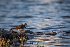 Killdeer (Charadrius vociferus) (GlacierNPS) Tags: national parkservice bird birding birds canada canadian doi glacier interior killdeer montana nps park shore waterton