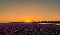 Sleepwalking Sunset. (Alex-de-Haas) Tags: 1635mm d500 dutch europa europe holland nederland nederlands netherlands nikkor nikkor1635mm nikon nikond500 noordholland agriculture akkerbouw beautiful beauty bloemen bloemenvelden boerenland bollenvelden bulbfields farmland farming flowerfields flowers landbouw landscape landscapephotography landschaft landschap landschapsfotografie lente lucht mooi polder pracht schoonheid skies sky spring sundown sunset tulip tulips tulp tulpen zonsondergang sintmaartensvlotbrug northholland