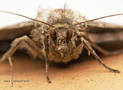 Moth (John Chorley) Tags: macro macros macrophotography moth 2019 johnchorley nature closeup closeups