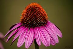 Echinacea (ttounces) Tags: coneflower echinacea pink petals orange center bees butterflies aroma ambiance garden varieties robert bloom ttounces drought tolerant details