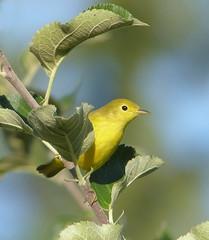 yellow warbler (mikewiz) Tags: birds warblers yellowwarbler grandforksbc dendroicapetechia