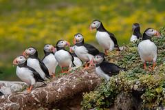 Puffin Pagent (Osprey-Ian) Tags: atlanticpuffin iceland grimseyisland specanimalphotooftheday