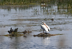 White pelican, coots, and common terns (V.C. Wald) Tags: circleofdiscovery tamronsp150600f563divcusdg2 tulelakenationalwildliferefuge pelecanuserythrorhynchos americanwhitepelican fulicaamericana americancoot commontern sternahirundo