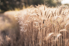 Juillet 19 (A. Joly) Tags: nature canon eosrp summer season france alsace light