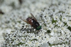 Philipomyia sp., Arkhyz July 2018 (Aidehua2013) Tags: philipomyia tabanidae diptera fly horsefly insect arkhyz zelenchukskydistrict karachaycherkessrepublic caucasus russia