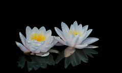 DSC07091 (Argstatter) Tags: seerosen blume bokeh flower natur pflanze weis gelb spiegelung