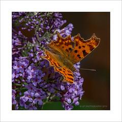 Comma (prendergasttony) Tags: butterfly nature nikon d7200 wildlife wings wild flower tonyprendergast macro hairy