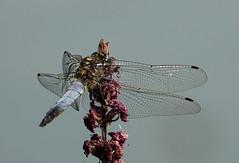 DSC07313 (Argstatter) Tags: blaupfeil libelle dragonfly insekt makro natur tier bokeh