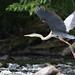 N85_5899 Brady's 16x9 heron.jpg