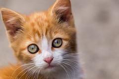 Kitten (Ronan McCormick) Tags: ilobsterit canon ireland cat ginger kitten stray