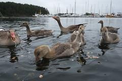 ... (johnpaddler) Tags: oslo norway bird oslofjord oslofjorden greylaggoose anseranser grågås