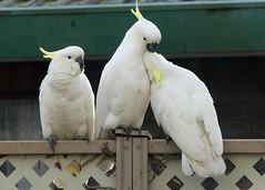 Two's Company ..... (PhotosbyDi) Tags: cockatoo sulphurcrestedcockatoos birds backyardbirds australianwhitecockatoo panasonicfz300 lumixfz300 panasoniclumix