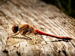 Male Vagrant Darter Dragonfly 2 (Kevin_Barrett_) Tags: insect macro bug wings