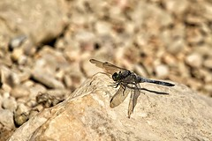 Male Black-tailed Skimmer Dragonfly (Kevin_Barrett_) Tags: dragonfly insect macro bug wings