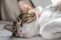Happy International Cat Day! (Picture-Perfect Pixels) Tags: flickrexploreaugust82019 sweerfreedom spyder tabby cat resting lyingdown beautifullighting spotlit male domesticshorthair pet animal catmoments