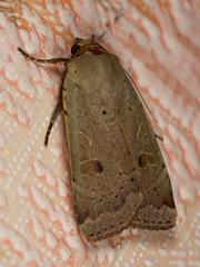 Hulotte (noctua comes) (pierre.pruvot2) Tags: arthropodes guînes hautsdefrance insectes lumixg9 macro moth nature noctuelle olympus60mmmacro panasonic papillon