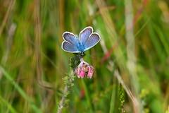 Polyommatus icarus (Hf-Photo) Tags: insects naturephoto analogfeatures naturelove naturehabbitat naturelight