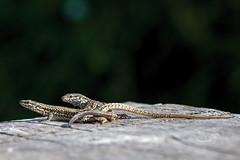 Podarcis muralis (mbriola) Tags: ariege france pyrénées reptile lezard accouplement sauvage wildlife couple podarcis briola