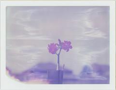 desert bloom (soonerpa) Tags: desertrose polaroid graflex pacemakerspeedgraphic 4x5 polaroidtype559 expired oct1999 iso80 adventuresinthebackyard polaroid4x5cardback epsonperfectionv600photo