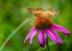 Top Feeder (Portraying Life, LLC) Tags: da3004 hd14tc k1mkii michigan pentax ricoh topazaiclear unitedstates butterfly closecrop handheld nativelighting uncommon migrant meadow coneflower count westcountypark