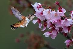 Going for It! (Patricia Ware) Tags: allenshummingbird backyard birdsinflight california canon fullframe manhattanbeach multipleflash selasphorussasin tripod ©2019patriciawareallrightsreserved specanimal