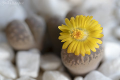 Flowering stones (Gabriel Paladino Photography) Tags: lithops autumn collection collector plant planta flower bloom flor otoño cole closeup africa magnoliophyta magnoliopsida caryophyllales aizoaceae piedraviva livingstone neomura eukaryota archaeplastida tracheobionta spermatophyta caryophyllidae ruschioideae ruschieae plantae yellow amarillo canon floweringstone mimicry stone natural gabrielpaladinoibañez