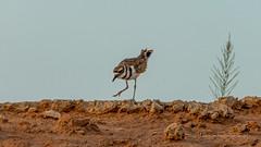 Best Foot Forward (playful_i) Tags: killdeer birds clouds sunrise weather wildlife