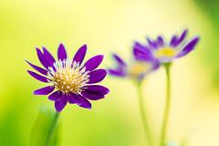 gymnaster 9968 (junjiaoyama) Tags: japan flower gymnaster plant purple summer bokeh macro gorgeous composition