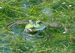 Afternoon frog (EcoSnake) Tags: americanbullfrog lithobatescatesbeiana frogs amphibians water wildlife august summer heat idahofishandgame naturecenter