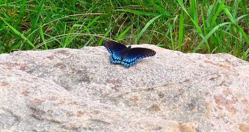 Red-spotted purple swallowtail
