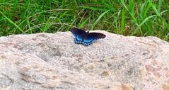 Red-spotted purple swallowtail (ali eminov) Tags: wayne nebraska animals insects butterflies swallowtail limenitisarthemis