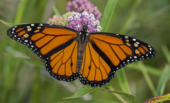 Monarch up close. (Bernie Kasper (6 million views)) Tags: art berniekasper butterfly bug butterflies bugs color colour d750 eyes family flower floral flowers fun green hiking home indiana indianawildflowers insect insects indianabutterflies image jeffersoncounty light landscape leaf love leaves madisonindiana macro monarchbutterfly monarch outdoors outdoor old outside orange photography plant park photos plants photo people raw sigma summer travel trail unitedstates usa wildflower wildflowers swampmilkweed