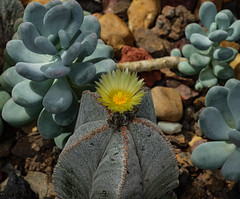 Cactus in Bloom 220 of 365 (Year 6) (bleedenm) Tags: flowers summer plants garden outdoors michigan devosjapanesegarden july greenhouse grandrapids 2019 frederikmeijergarden